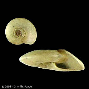 Figure A: Snail in the genus Hippeutis, an intermediate host for <em>F. buski</em>. Image courtesy of Conchology, Inc, Mactan Island, Philippines.