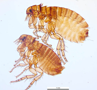 Figure C: The dog flea, <em>C. canis</em>. Image courtesy of Parasite and Diseases Image Library, Australia.