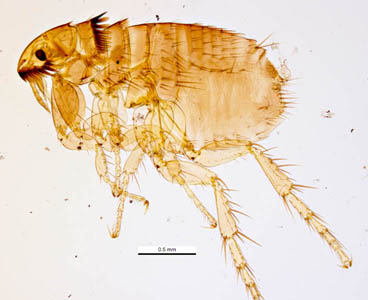 Figure A: The cat flea, <em>C. felis</em>. Image courtesy of Parasite and Diseases Image Library, Australia.