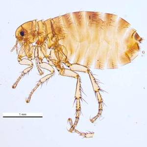 Figure A: The human flea, <em>P. irritans</em>. Image courtesy of Parasite and Diseases Image Library, Australia.