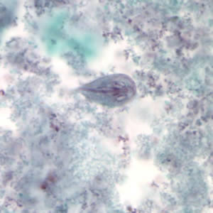 Figure A: <em>G. duodenalis</em> trophozoite stained with trichrome.