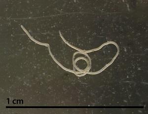 gongylonema species