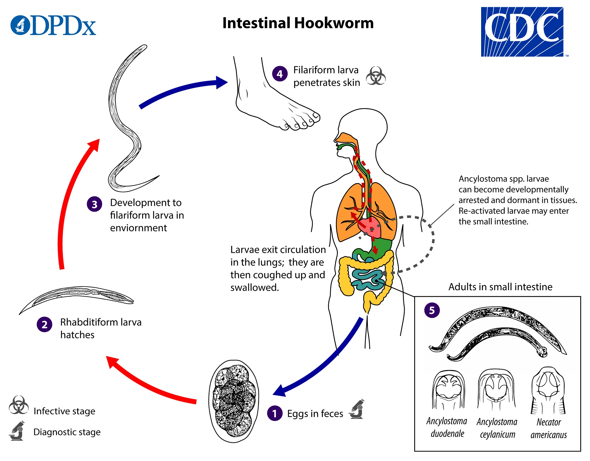enterobius vermicularis life cycle cdc