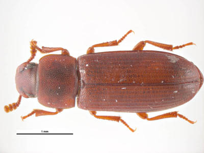 Figure B: <em>Tribolium castaneum</em>, another beetle commonly found in grain products that may serve as an intermediate host for <em>Hymenolepis</em> spp. Image courtesy of Parasite and Diseases Image Library, Australia.