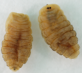 A 46-year-old woman returned from a trip to Nigeria with multiple boils on her lower back and extremities. Under the care of her primary physician, several fly larvae, one from each boil, were extracted and sent to the state health department for identification.