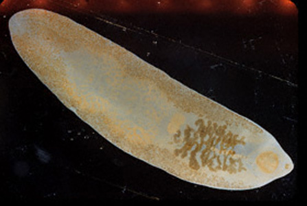 Adult fluke of F. buski.  Image contributed by Georgia Division of Public Health.