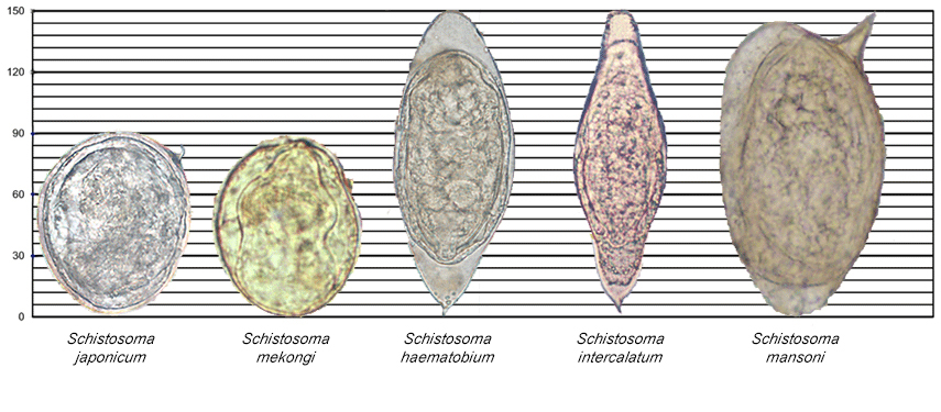 Images of various Schistosoma species along a scale for reference.