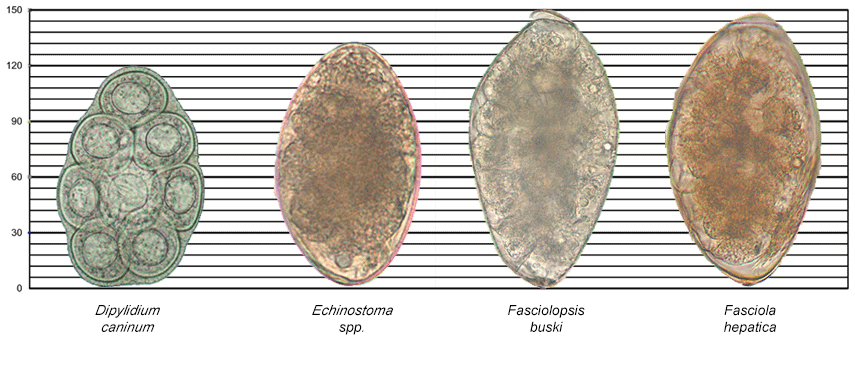 Images of Dipylidium caninum, Echinostoma spp., Fasciolopsis buski, and Fasciola hepatica along a scale for reference.