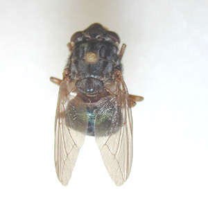 Adult of <em>Dermatobia hominis</em>, the human bot fly. Image taken from a specimen courtesy of the Georgia Museum of Natural History, University of Georgia, Athens, GA.