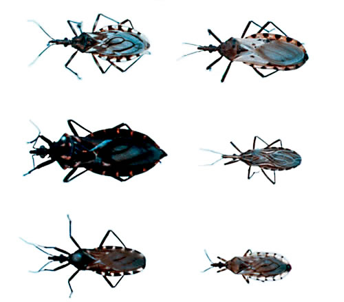 Triatomine bug, the T. cruzi vector.