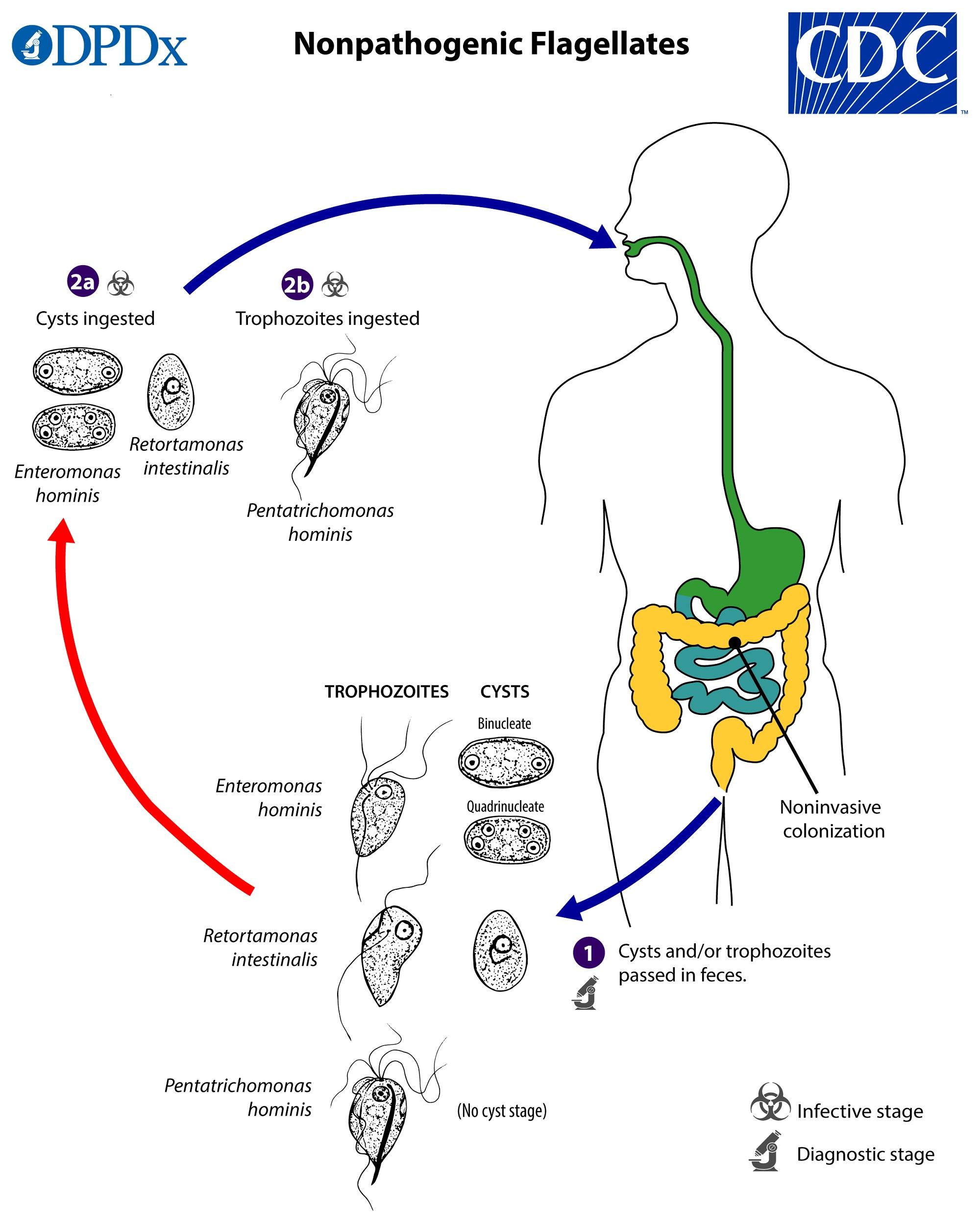 Giardiasis cdc Giardia duodenalis life cycle, Giardia life cycle cdc