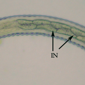 intestinal vesicle of nematodes essay Dactin filaments in microvilli of intestinal cells likely shorten or extend cell a vesicle formed by the golgi apparatus fuses with the plasma membrane as.