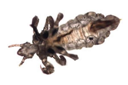 CDC  Lice