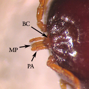 Figure C: Close-up of the mouthparts of <em>A. americanum</em>. Notice the mouthparts (MP) and palps (PA) are long, in comparison with the basis capituli (BC).