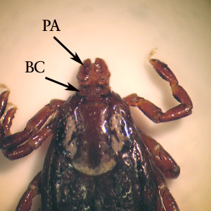 Figure C: Higher-magnification of the specimen in Figure B. Notice the palps (PA) are short in relation to the basis capituli (BC).