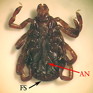 Figure D: Underside of the specimen in Figure B, showing the anus (AN) and festoons (FS).