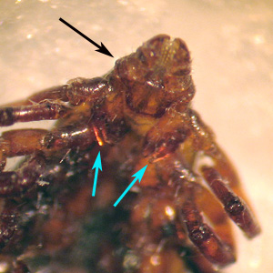 Figure D: Ventral view of the specimen in Figures B and C. Notice the laterally-produced, angulate basis capituli (black arrow) and deeply-cleft fore coxae (blue arrows).
