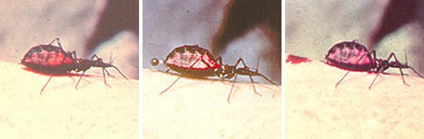 Figure C: Triatomine bug, <em>Trypanosoma cruzi</em> vector, defecating on the wound after taking a blood meal.