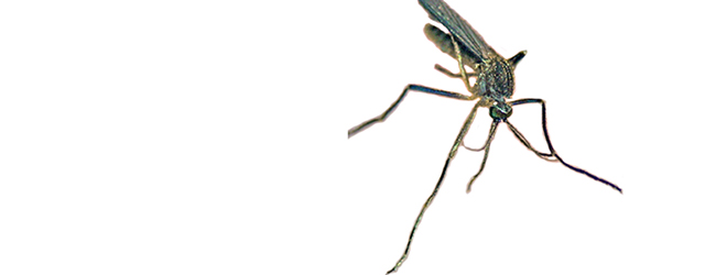 Magnified image of a mosquito