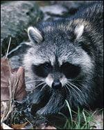 Photo: Raccoon