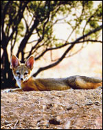 Photo: A fox.