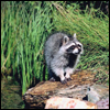 Photo: Raccoon