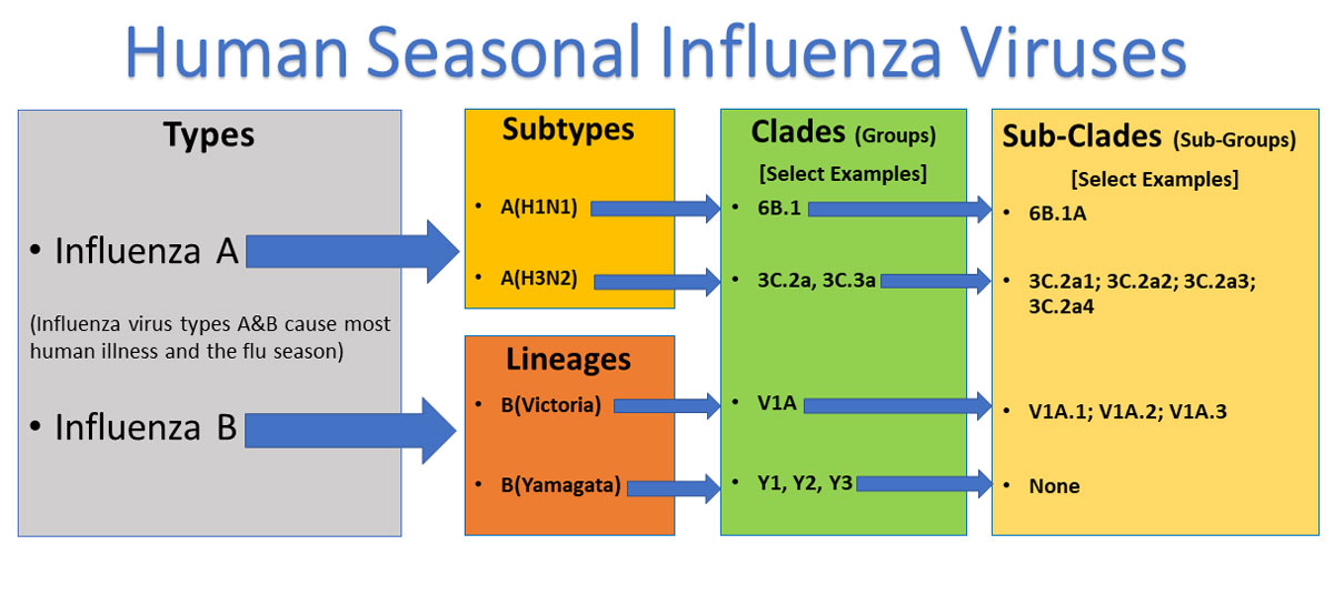 Human Seasonal Influenza Virus