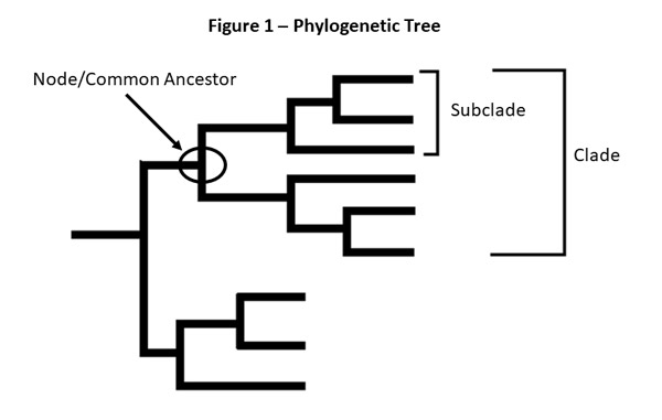 figure 1 - phylogenetic tree , node common acestor, subclade, clade