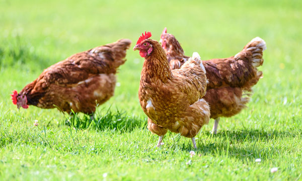 Bird Flu in Mohali