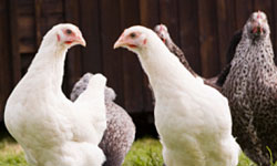 Avian influenza A viruses are very contagious among birds.