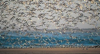Las aves acuáticas silvestres, en particular los patos silvestres, gansos, cisnes, gaviotas, aves costeras y golondrinas de mar, son los huéspedes naturales de todos los tipos conocidos de virus de la influenza A.