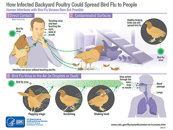 avian influenza transmission infographic