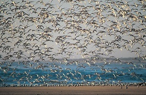 Wild aquatic birds such as these common terns are the natural hosts for all known influenza type A viruses.