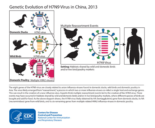 This diagram depicts the origins of the H7N9 virus from China and shows how the virus's genes came from other influenza viruses in birds.