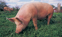 Photo of a pig grazing in a field. Swine flu in pigs is one type of influenza.