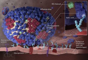 Understanding Influenza Flu Infection: An Influenza Virus Binds to a Respiratory Tract Cell