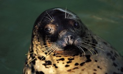 Influenza A viruses are found in many animals including harbor seals.