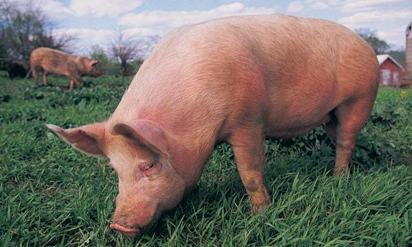 Influenza porcina en cerdos