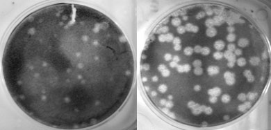 The left picture shows replication of a human seasonal flu virus called Tx/91 in cell culture. The picture on the right shows how when the polymerase (PB1) gene of this same virus is exchanged with that of the 1918 virus, the resulting virus' ability to replicate (i.e., make copies of itself) is greatly enhanced. Photo credit: Terrence Tumpey, CDC.