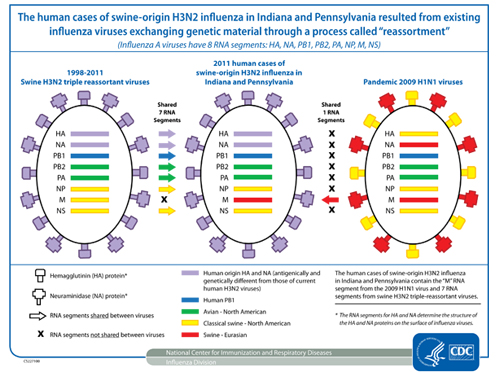 The cases of human infection with swine–origin H3N2 influenza resulted from existing influenza viruses exchanging genetic material through a process called reassortment.