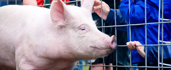 CDC Spotlight: 4 Variant Virus Infections Linked to Pig Exposures