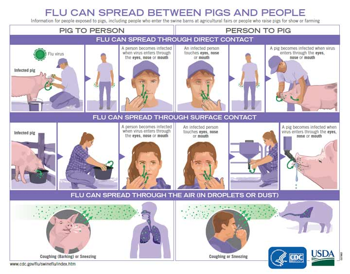 Flu Can Spread Between Pigs and People