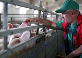 Photo: man handling a pig in a swine barn