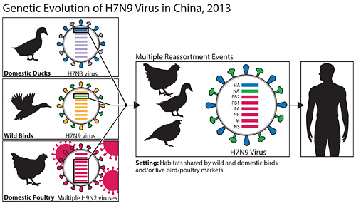 This diagram depicts the origins of the H7N9 virus from China and shows how the viruss genes came from other influenza viruses in birds.