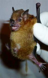 Yellow-shouldered bat found in Guatemala. Photo credit: CDC/OID/NCEZID – Amy T. Gilbert.