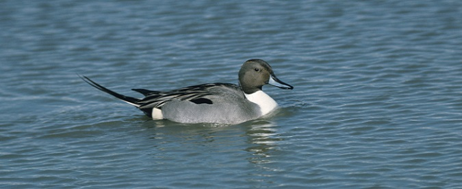 Photo of a wild waterfowl (duck) floating on a lake.