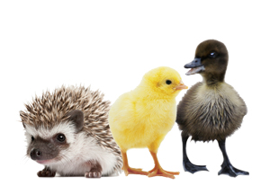 Hedgehog, baby chick, and duckling