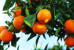Photo of oranges growing on a tree.