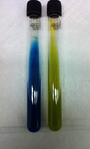 C. gattii (left-hand tube) on CGB agar
