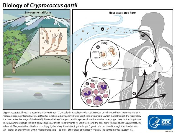 Life Cycle of Cryptococcus gattii: Environmental Form, Host-associated Form, and Areas of Endemic for Cryptococcus gattii. Cryptococcus gattii lives in the environment (1), usually in association with certain trees or soil around trees. Humans and animals can become infected with C. gattii after inhaling airborne, dehydrated yeast cells or spores (2), which travel through the respiratory tract and enter the lungs of the host (3). The small size of the yeast and/or spores allows them to become lodged deep in the lung tissue. The environment inside the host body signals C. gattii to transform into its yeast form, and the cells grow thick capsules to protect themselves (4). The yeasts then divide and multiply by budding. After infecting the lungs, C. gattii cells can travel through the bloodstream (5)—either on their own or within macrophage cells— to infect other areas of the body, typically the central nervous system (6).